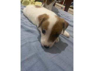 Jack Russel terrier pedigree