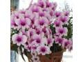 descubra-como-ter-orquideas-lindas-saudaveis-e-com-flores-dignas-de-exposicao-todos-os-anos-small-1