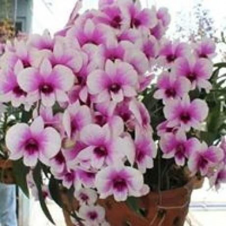 descubra-como-ter-orquideas-lindas-saudaveis-e-com-flores-dignas-de-exposicao-todos-os-anos-big-1