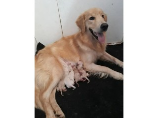 Filhotes de Golden Retriever com pedigree