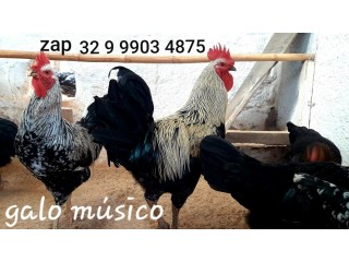 Ovos galados férteis do verdadeiro galo músico cantor em Minas Gerais. Ovos férteis para todo Brasil. Galos galinhas canto longo