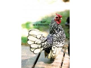 Ovos galados da raça galinhas galos Sebright prata e Dourado zebraite em Minas Gerais. Ovos férteis para todo Brasil