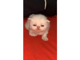 Filhote de Persa Show Puro dos olhos azuis