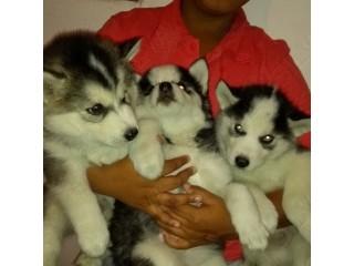 Filhotes de Husky siberiano Wolly